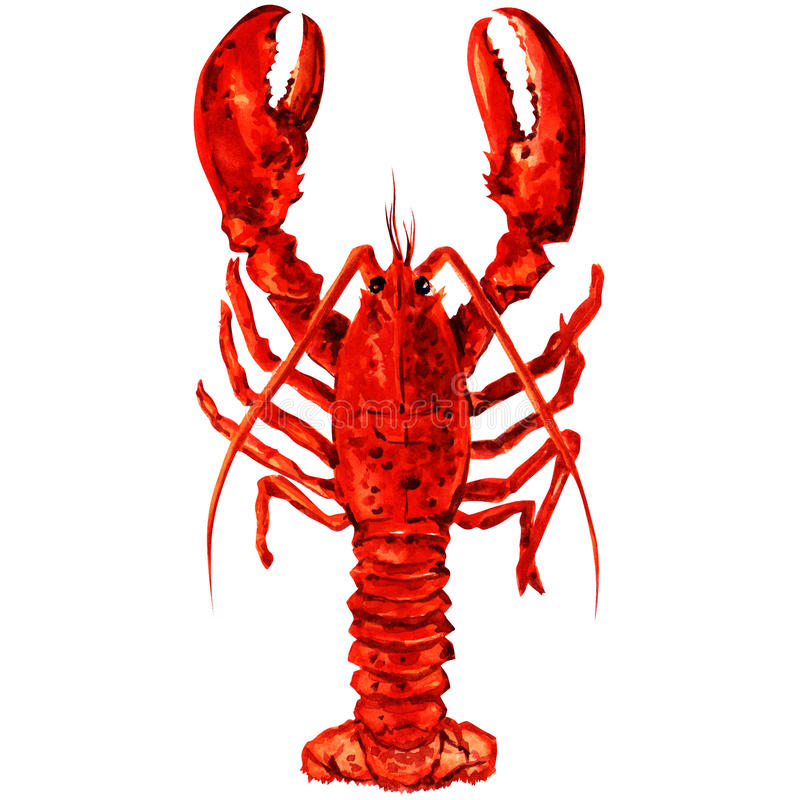 Watercolor crayfish. vector illustration