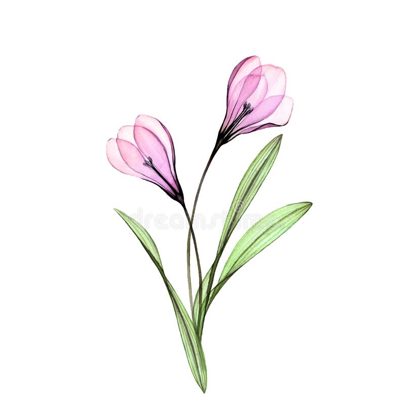 Free Watercolor Crocus. Hand Painted Artwork With Flowers Isolated On White. Colourful Spring Bouquet. Botanical Illustration Royalty Free Stock Photos - 178411098