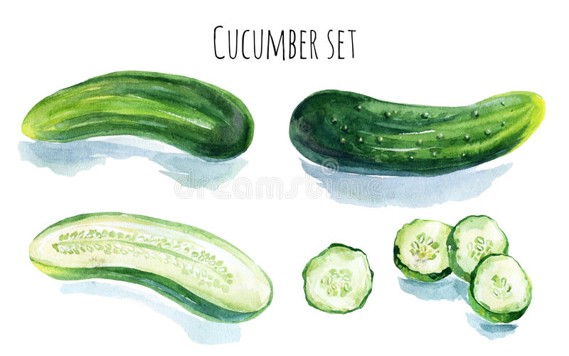 Watercolor cucumber. Set isolated on white background. Hand painted illustration royalty free illustration