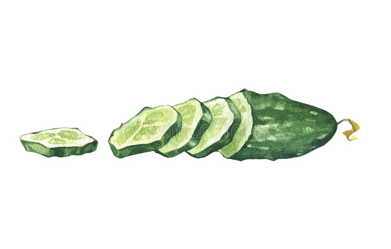 Watercolor cucumber and slices. Watercolor cucumber slices over white background stock illustration