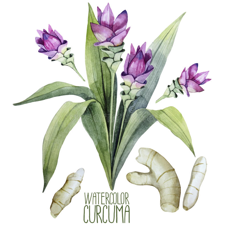Watercolor curcuma set vector illustration