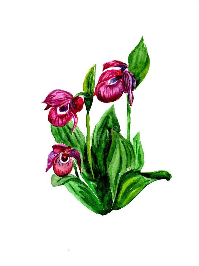 Watercolor Cypripedium calceolus vector illustration