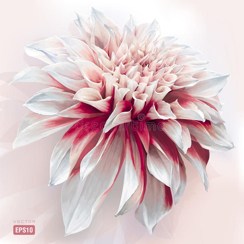 Watercolor Dahlia. Luxurious red-white garden Dahlia flower painted in watercolor style EPS10 royalty free illustration