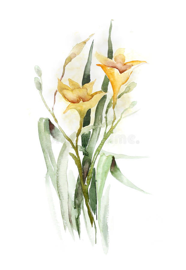 Watercolor -Daylily- stock illustration