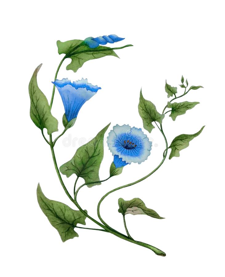 Watercolor with delicate morning glory flowers royalty free stock image