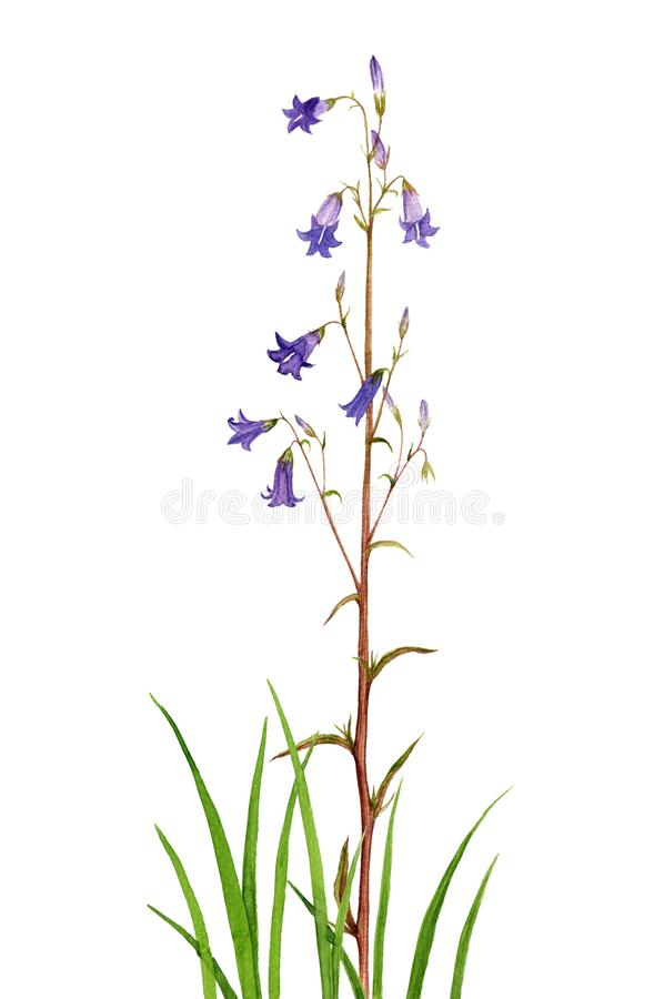 Watercolor drawing bell flowers stock illustration