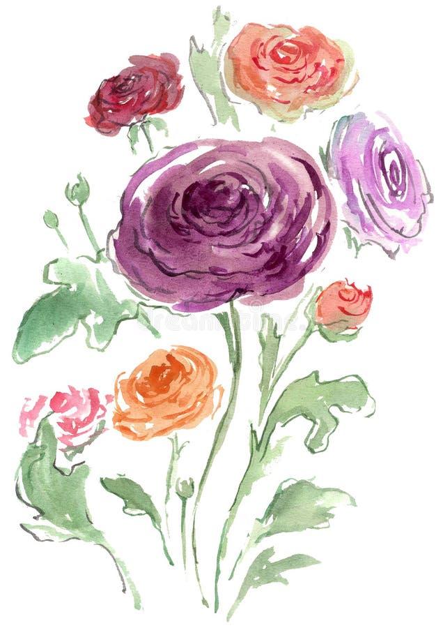 Watercolor drawing of colored Rununculus stock image
