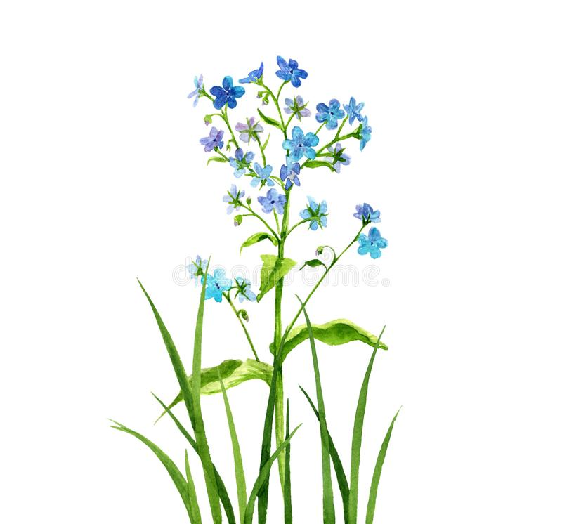 Watercolor drawing forget-me-not flowers royalty free illustration