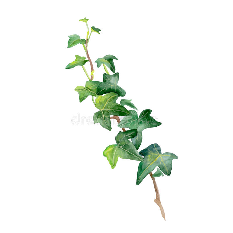 Watercolor drawing of green ivy sprig on white background. Hand drawn Araliaceae family plant vector illustration