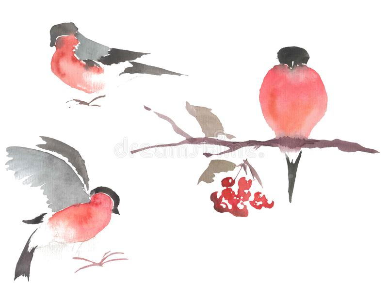 Watercolor drawing, illustration. Bullfinch in different poses. stock images