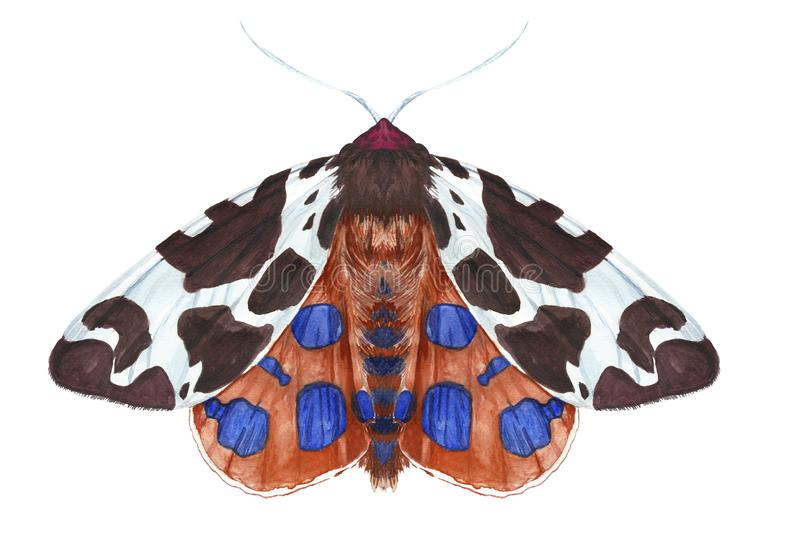 Watercolor drawing of an insect night butterfly, moth, Dipper reddish-brown, beautiful wings, furry, animal, print, decor, design royalty free stock photo