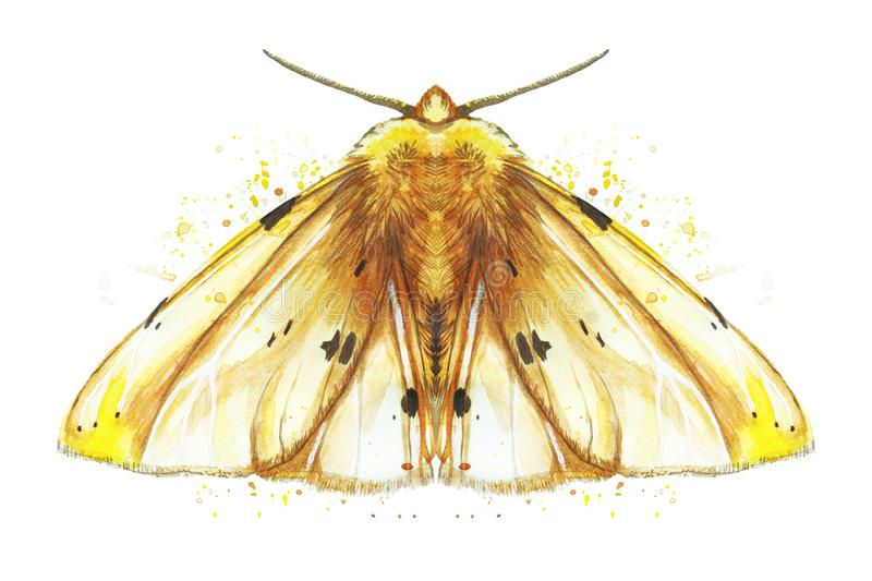 Watercolor drawing of an insect night butterfly, moth, yellow bear, beautiful wings, shaggy, animal, print, decor, design. Watercolor drawing of an insect night royalty free illustration