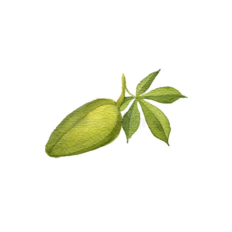 Watercolor drawing kapok seed fruit, Ceiba pentandra. Hand drawn illustration royalty free illustration