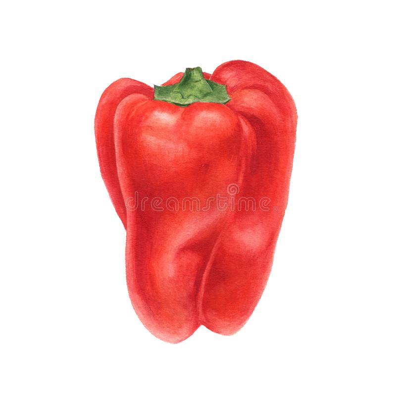 Watercolor drawing sweet pepper royalty free stock photography
