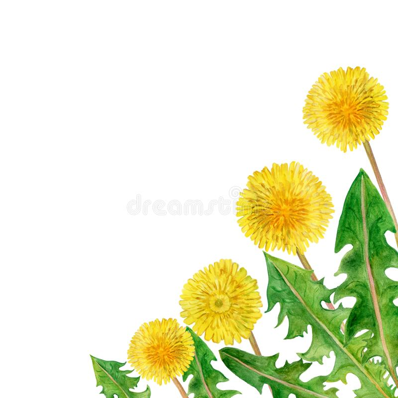 Watercolor drawing of spring flowers Taraxacum, blowball. Hand drawn beautiful dandelion plant painting. Spring flowers bouquet. Asteraceae family, Cichorieae vector illustration