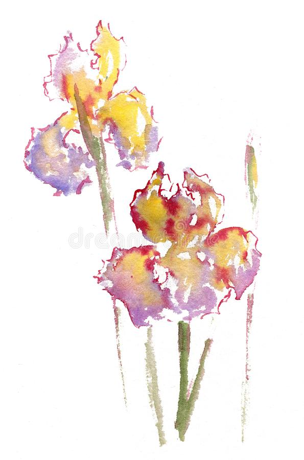 Watercolor drawing of yellow and purple iris. summer mood royalty free stock image
