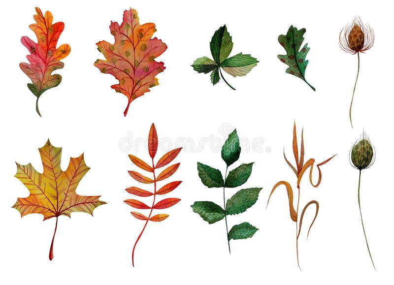 Watercolor elements set autumn leaves oak ashberry maple rosehip chestnut blade of grass bur stock illustration