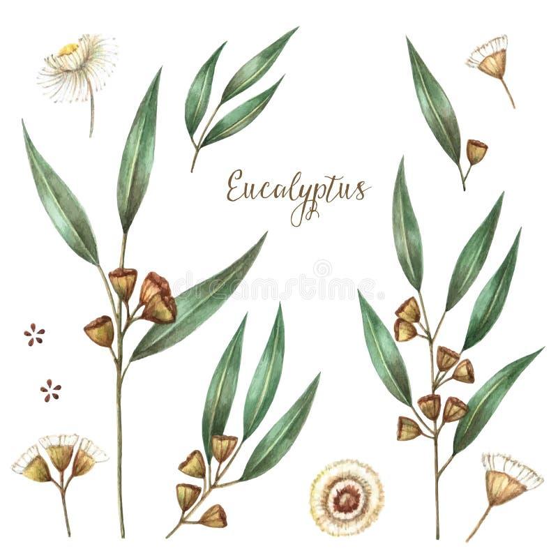 Watercolor eucalyptus leaves royalty free illustration