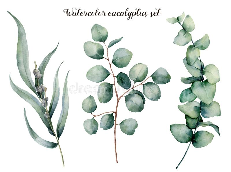 Watercolor eucalyptus realistic set. Hand painted baby, seeded and silver dollar eucalyptus branch isolated on white royalty free illustration