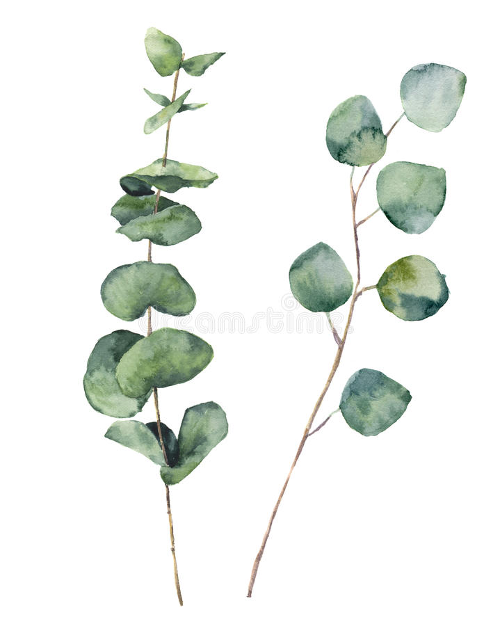 Watercolor eucalyptus round leaves and branches. Hand painted baby eucalyptus and silver dollar elements. Floral illustration. Isolated on white background. For