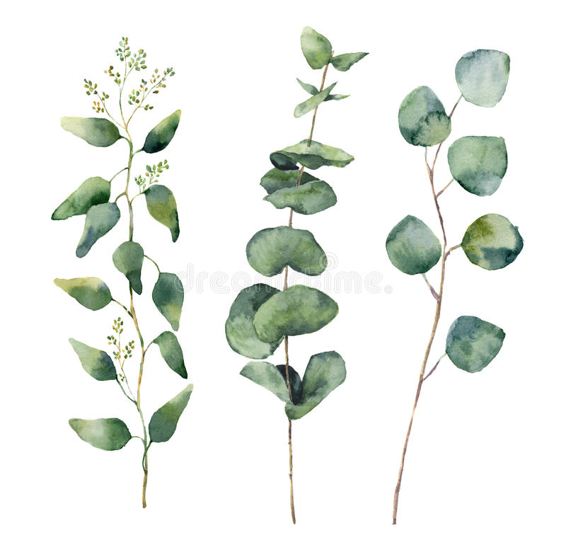 Watercolor eucalyptus round leaves and branches set. Hand painted baby, seeded and silver dollar eucalyptus elements. Floral illus royalty free illustration