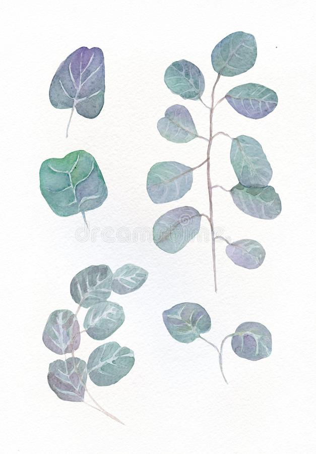Watercolor eucalyptus round leaves and twig floral branches. Hand painted elements isolated on white background. vector illustration
