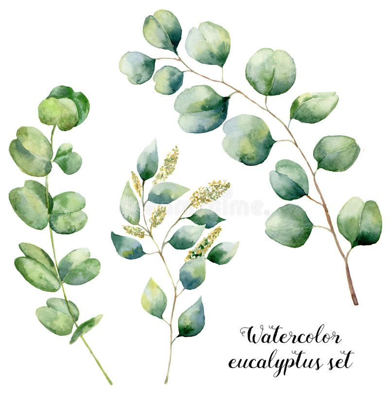 Watercolor eucalyptus set. Hand painted baby, seeded and silver dollar eucalyptus elements. Floral illustration with vector illustration