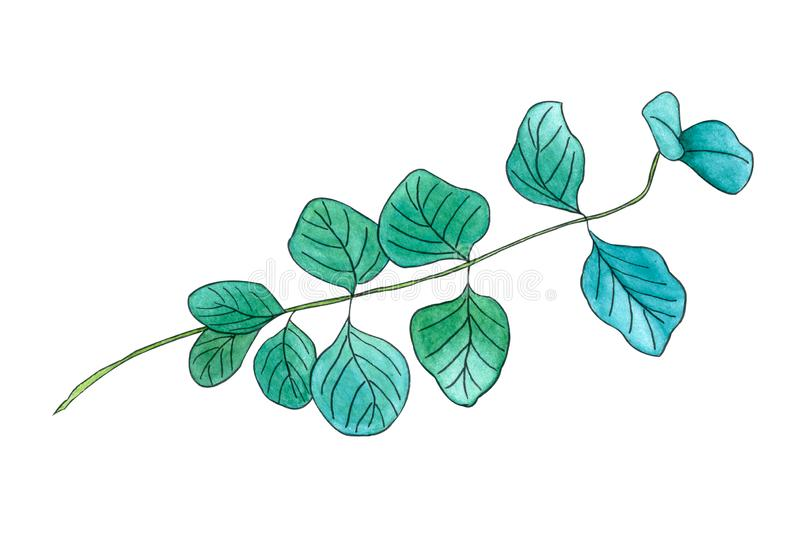Eucalyptus leaves or Silver Dollar Gum twig stock illustration