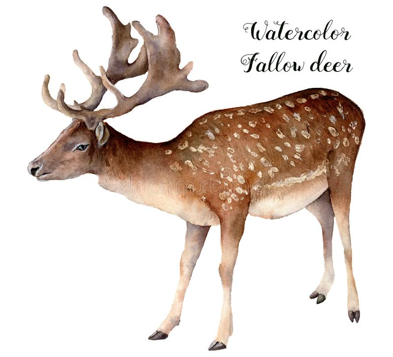 Watercolor fallow deer. Hand painted wild animal isolated on white background. Realistic male fallow for design, print vector illustration