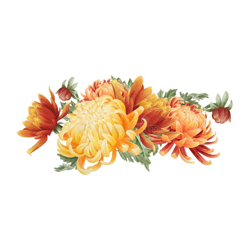 Watercolor floral bouquet of chrysanthemum royalty free stock image
