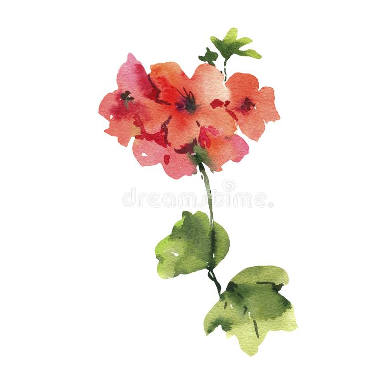 Watercolor Flower Geranium, Pelargonium, Red Flowers, Natural Isolated Illustration royalty free illustration