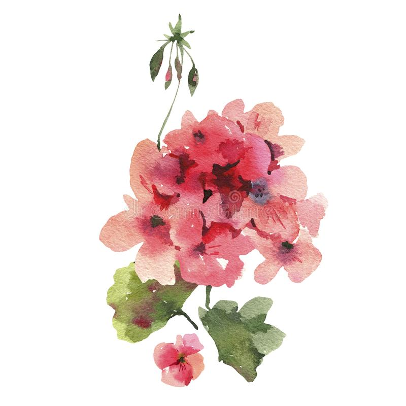 Watercolor Flower Geranium, Pelargonium, Red Flowers, Natural Isolated Illustration. Spring Summer Greeting Card vector illustration