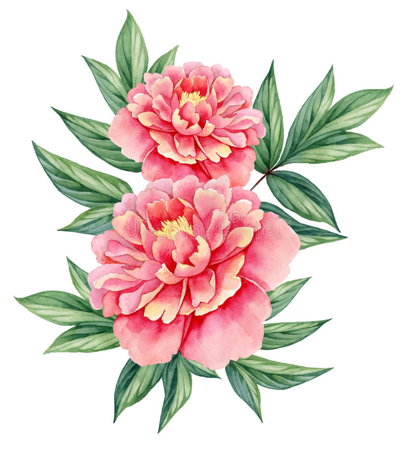 Watercolor flower peony pink green leaves decorative vintage illustration isolated on white background stock illustration