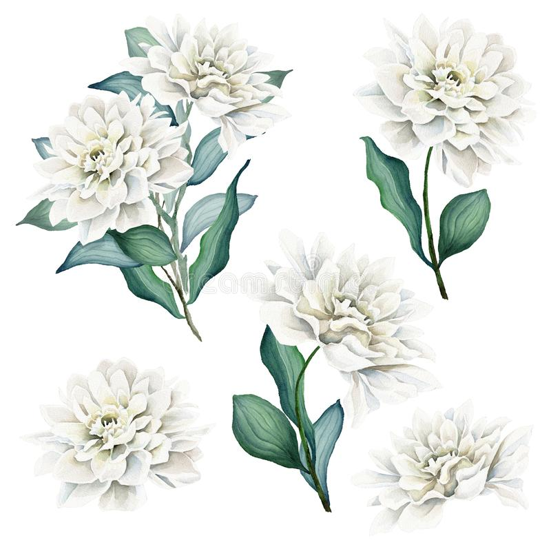 Watercolor Flowers and Bouquets Set. Dahlia. White dahlia. Floral illustration. Leaves and buds. Botanic composition. Dahlia Bouquets. Flower head. Great for royalty free illustration