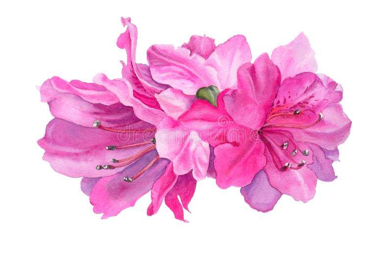 Watercolor flowers. Bright pink azaleas. vector illustration