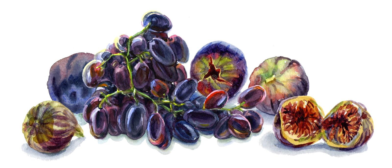 Watercolor food. Fresh fruits still-life. Ripe fig fruits, plums and black grapes royalty free illustration