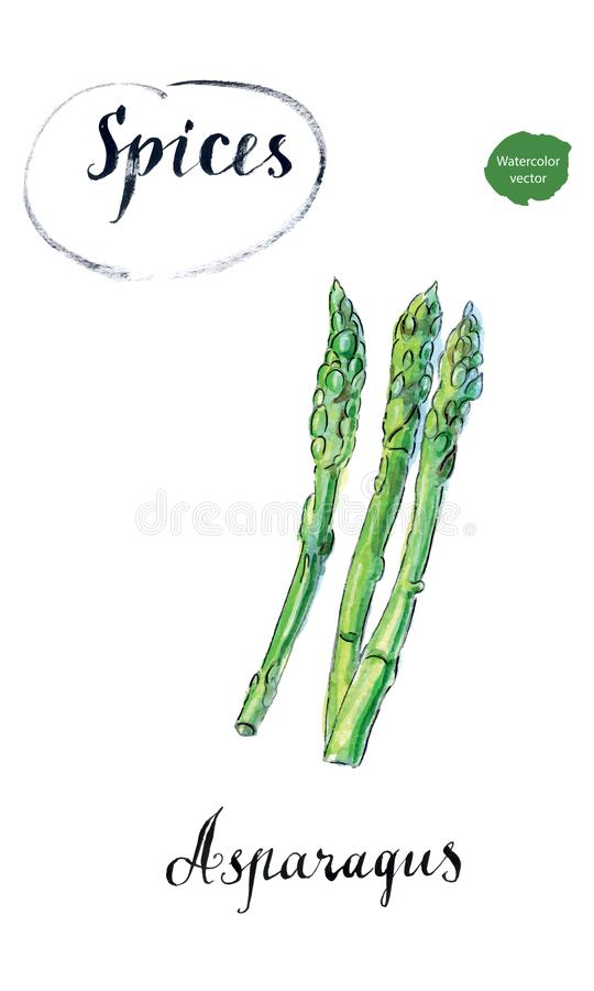 Watercolor fresh green asparagus stock illustration