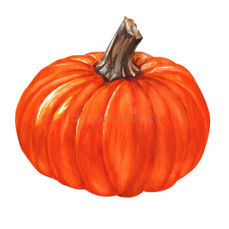 Watercolor fresh orange pumpkin isolated. Fresh orange pumpkin isolated, watercolor painting on white background royalty free illustration