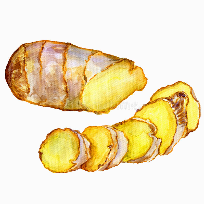 Watercolor ginger root. Hand draw ginger illustration. Spices object isolated on white background. Kitchen herbs and vector illustration