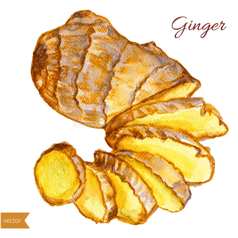 Download Watercolor Ginger Root. Hand Draw Ginger Illustration. Spices Vector Object Isolated On White Background. Kitchen Herbs Stock Vector - Image: 90269477