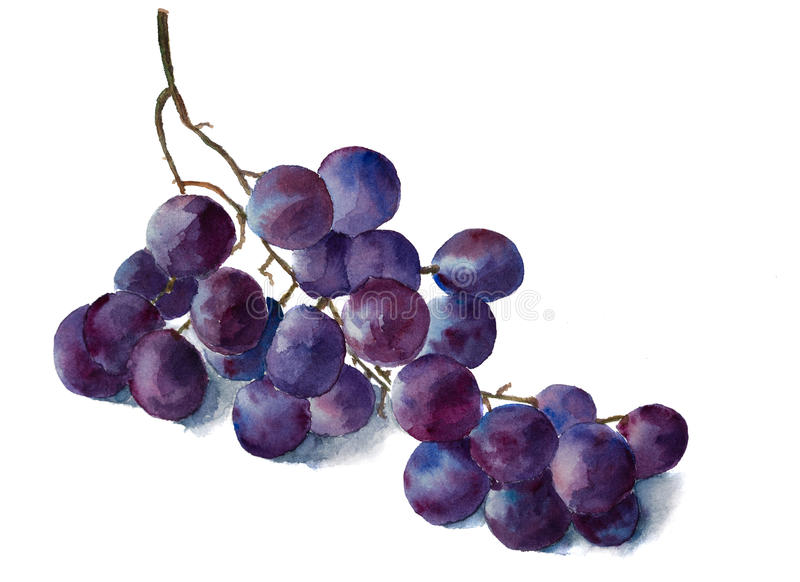 Watercolor grape brunch royalty free stock images