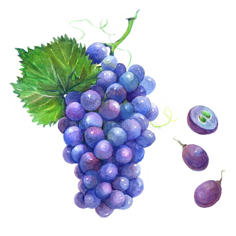 Watercolor grape bunch of dark grapes stock illustration
