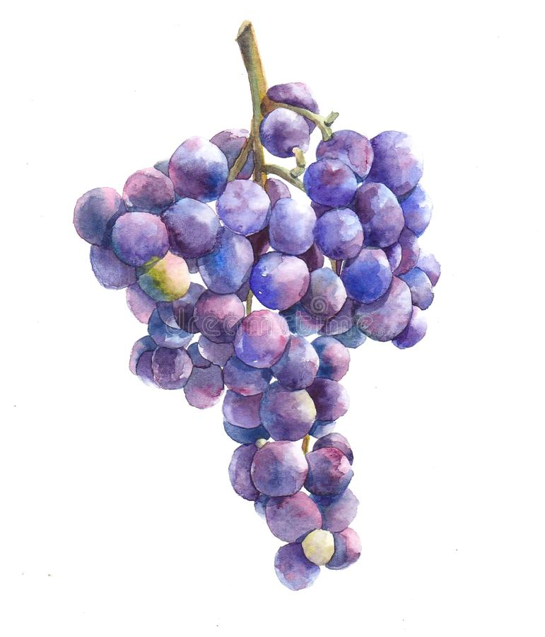 Watercolor grape bunch of green and dark grapes isolated royalty free illustration
