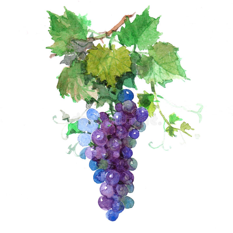 Watercolor grape bunch of green and dark grapes isolated vector illustration