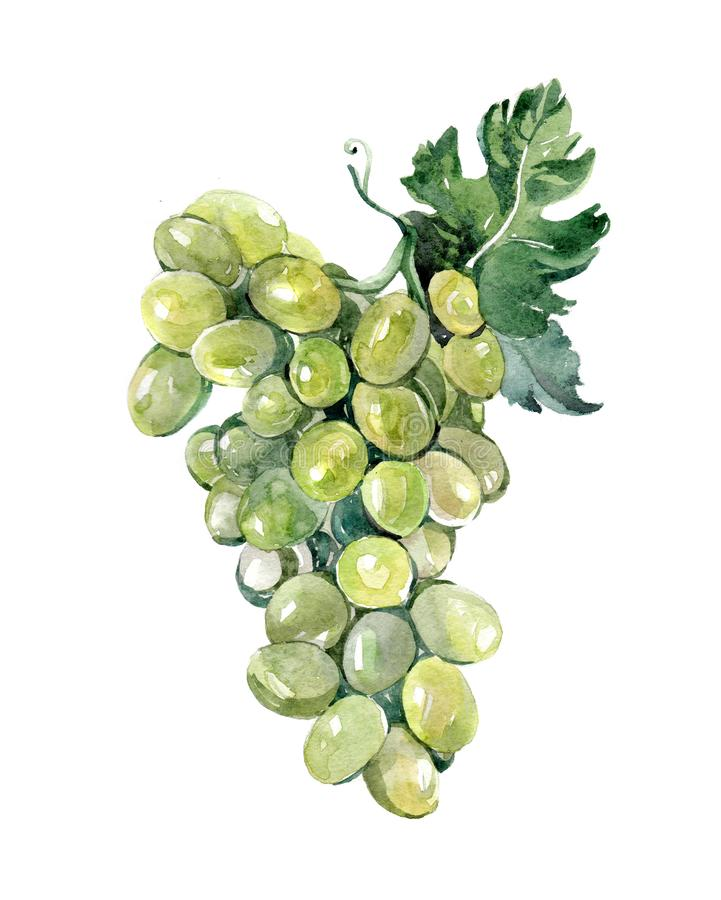 Watercolor grape bunch of green grapes isolated royalty free illustration