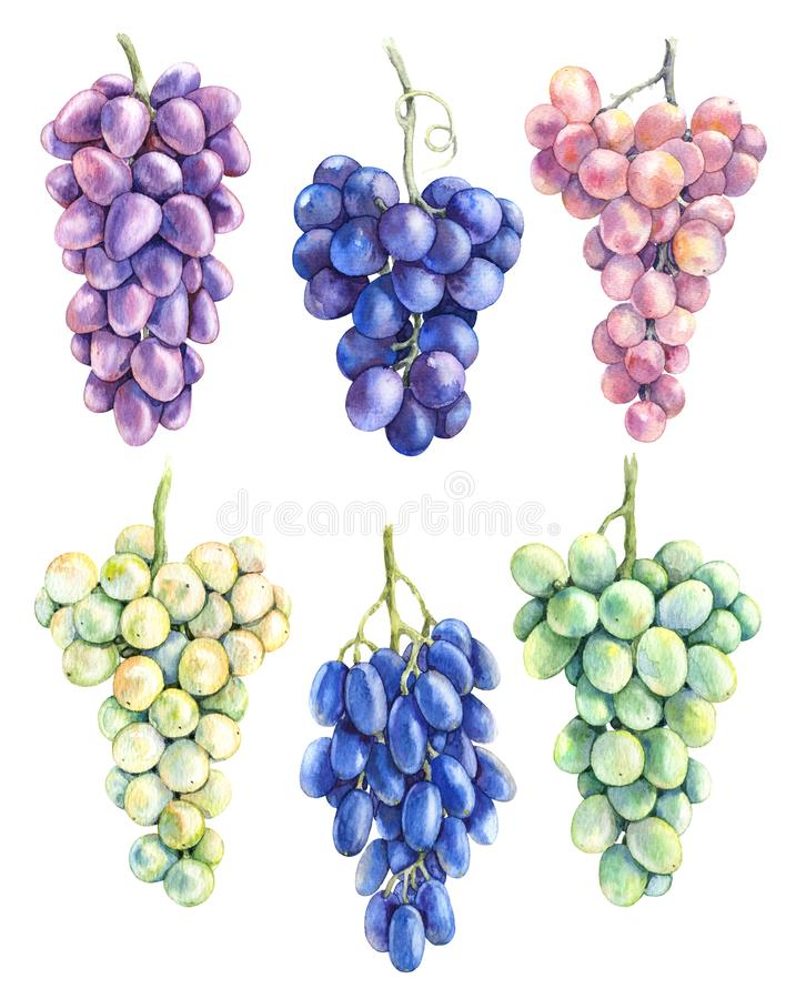 Watercolor Grape Bunch Variety Set stock illustration