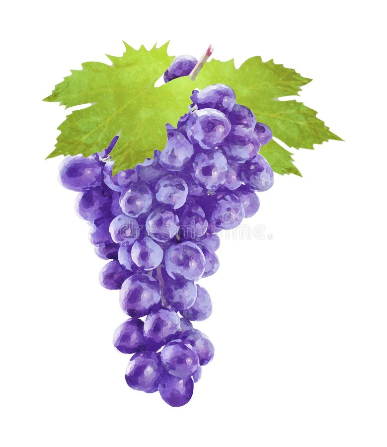 Watercolor grape with leafs on white vector illustration