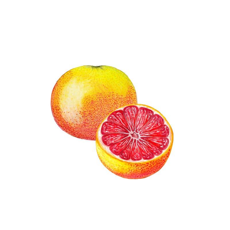 Watercolor grapefruit stock photography
