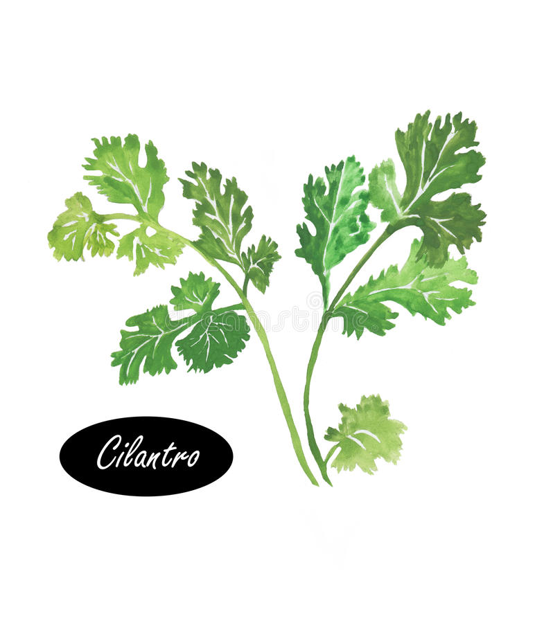 Watercolor green cilantro leaves close-up on a white vector illustration