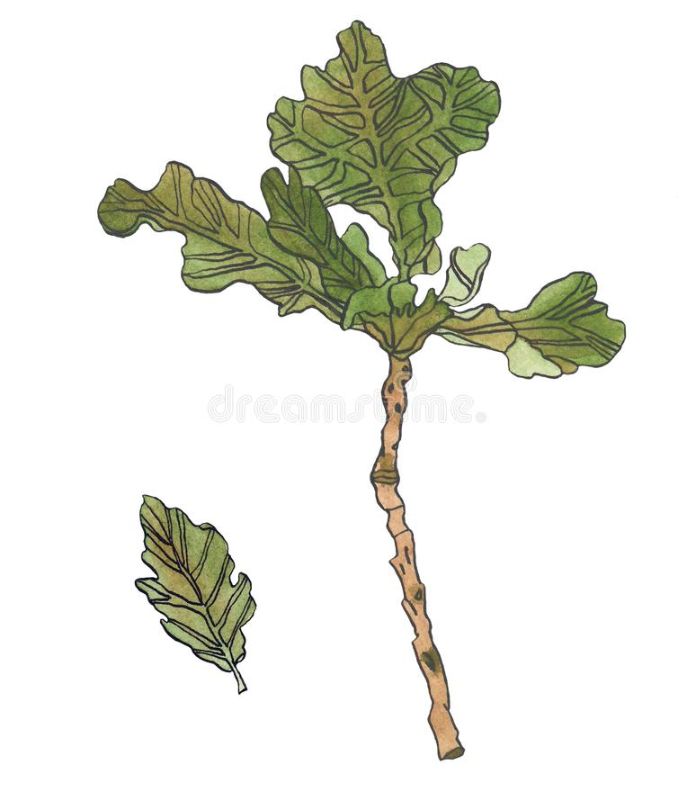 Watercolor green oak leaves wiyh streaky and branch. Watercolor illustration green oak leaves wiyh streaky on white background stock illustration
